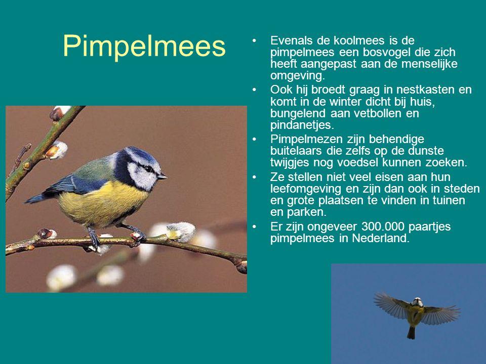 Pimpelmees Evenals de koolmees is de pimpelmees een bosvogel die zich heeft aangepast aan de menselijke omgeving. Ook hij broedt graag in nestkasten e