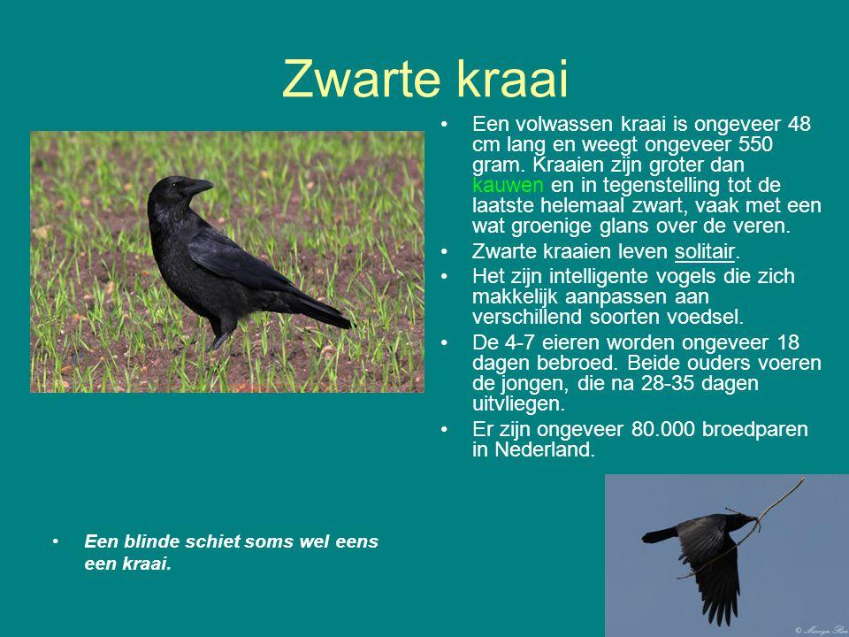 Zwarte kraai Een blinde schiet soms wel eens een kraai. Een volwassen kraai is ongeveer 48 cm lang en weegt ongeveer 550 gram. Kraaien zijn groter dan