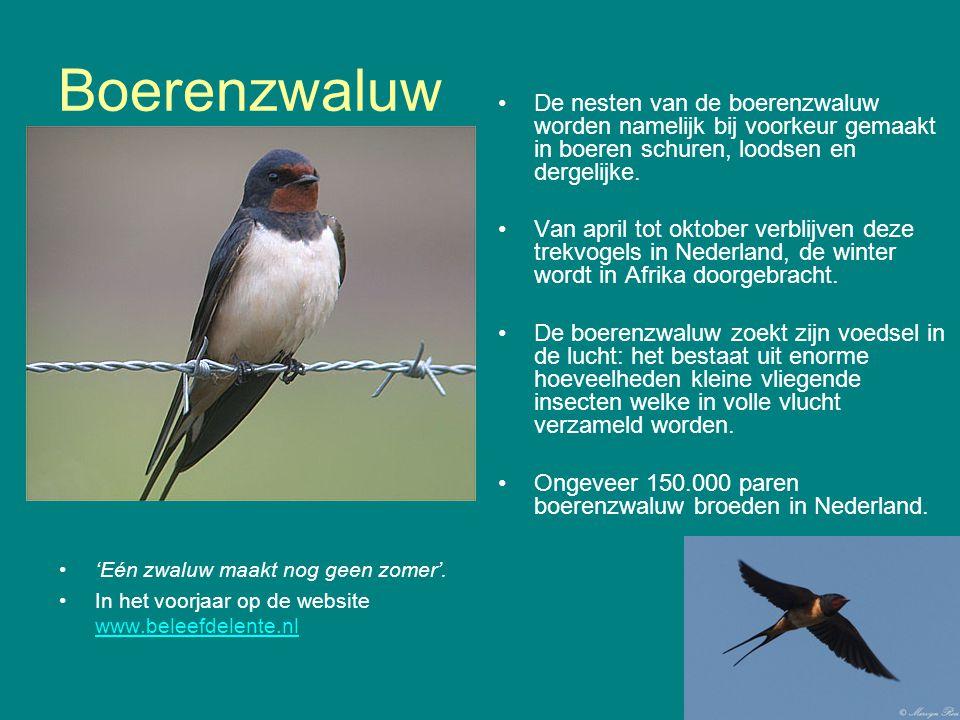 Boerenzwaluw 'Eén zwaluw maakt nog geen zomer'. In het voorjaar op de website www.beleefdelente.nl www.beleefdelente.nl De nesten van de boerenzwaluw