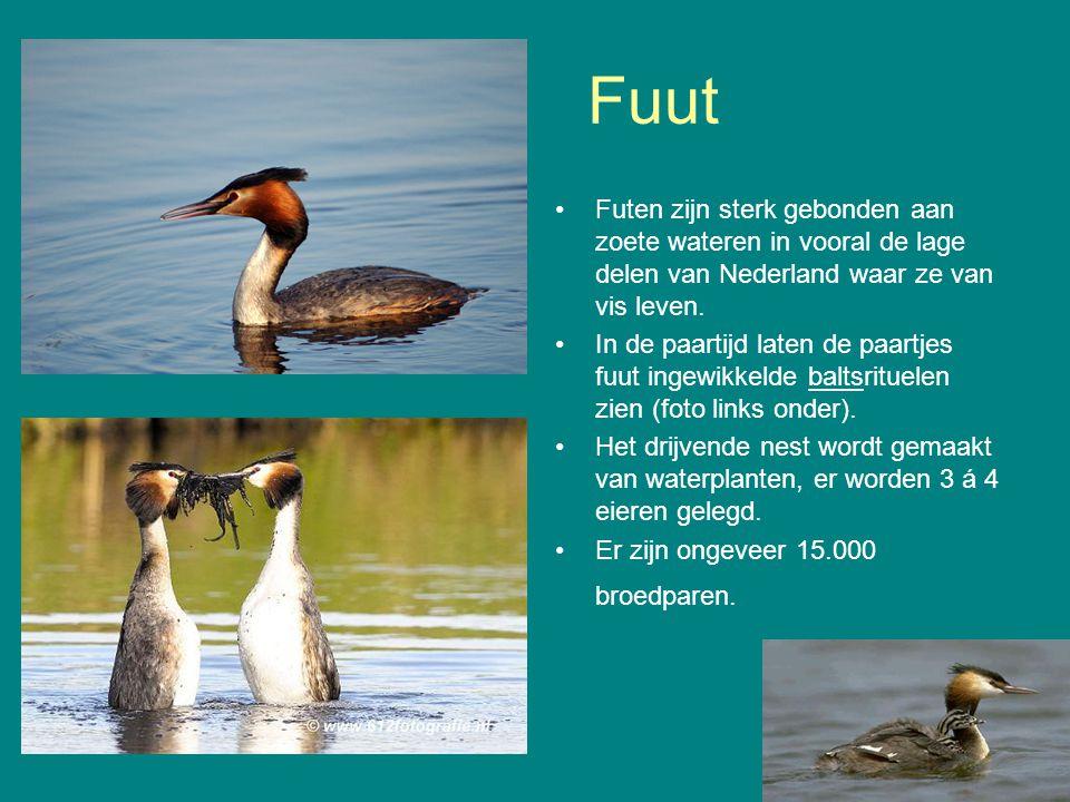 Fuut Futen zijn sterk gebonden aan zoete wateren in vooral de lage delen van Nederland waar ze van vis leven. In de paartijd laten de paartjes fuut in