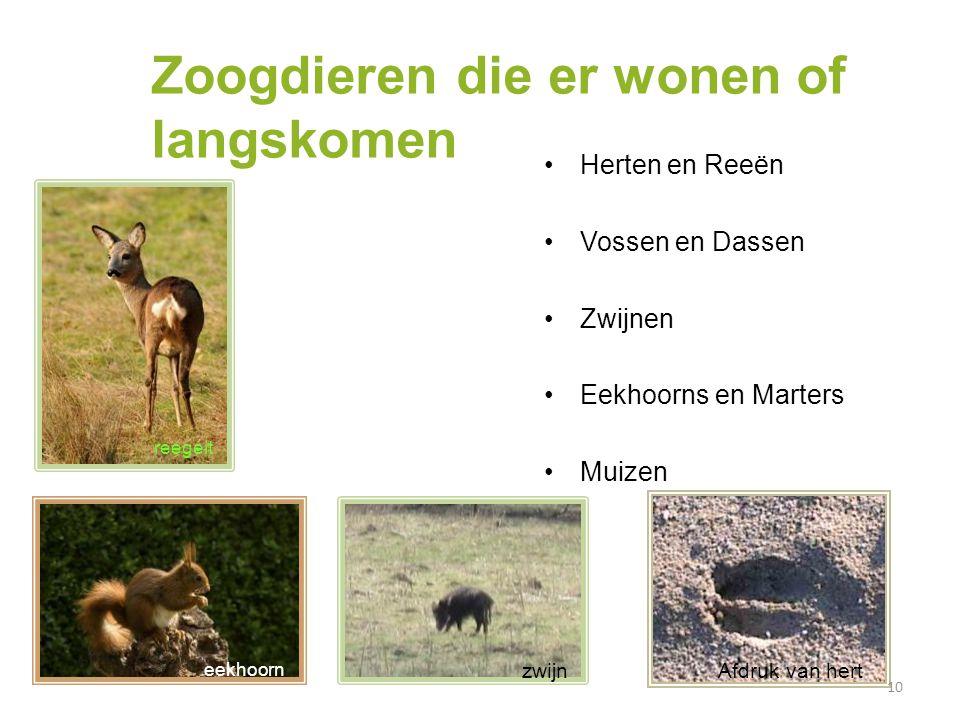 Zoogdieren die er wonen of langskomen Herten en Reeën Vossen en Dassen Zwijnen Eekhoorns en Marters Muizen 10 eekhoorn reezwijnAfdruk van hert eekhoor