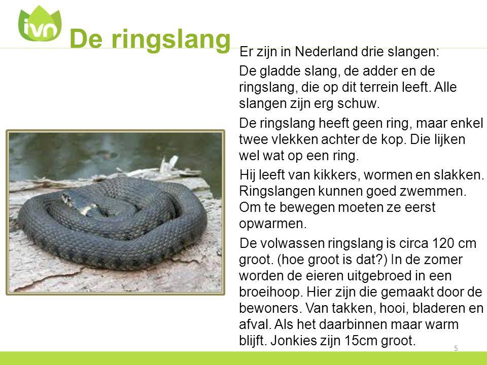 De ringslang Er zijn in Nederland drie slangen: De gladde slang, de adder en de ringslang, die op dit terrein leeft. Alle slangen zijn erg schuw. De r