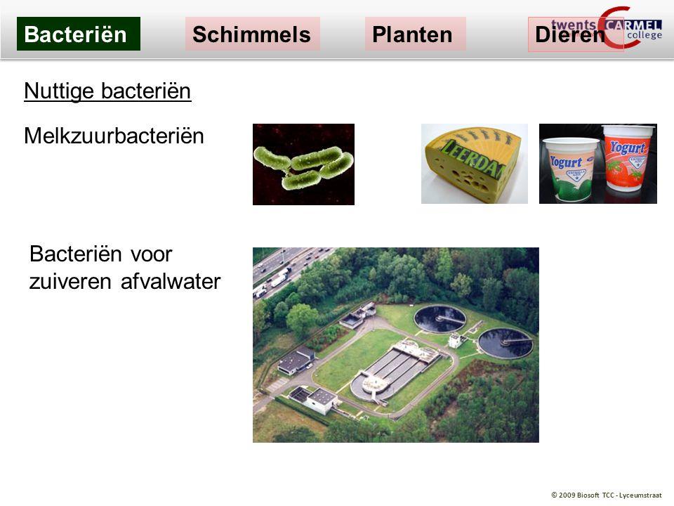 © 2009 Biosoft TCC - Lyceumstraat BacteriënSchimmelsPlanten Dieren Nuttige bacteriën Melkzuurbacteriën Bacteriën voor zuiveren afvalwater