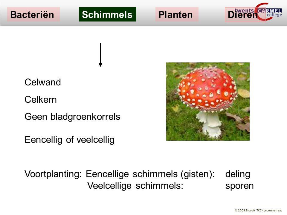 © 2009 Biosoft TCC - Lyceumstraat Celwand Celkern Geen bladgroenkorrels Eencellig of veelcellig Voortplanting: Eencellige schimmels (gisten):deling Ve