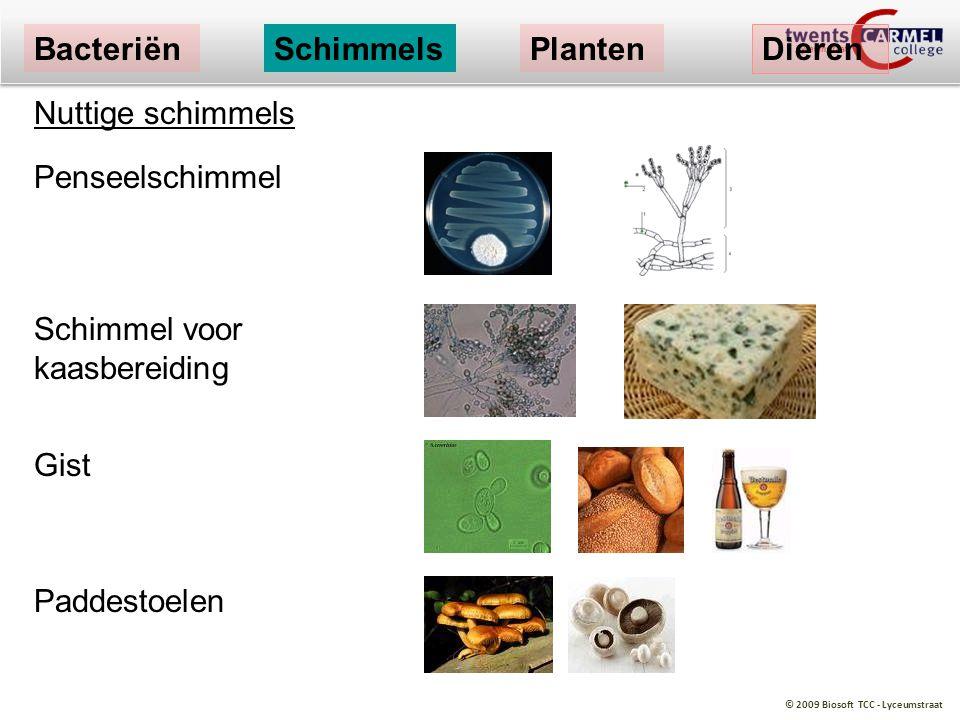 © 2009 Biosoft TCC - Lyceumstraat Nuttige schimmels Penseelschimmel Schimmel voor kaasbereiding Gist Paddestoelen BacteriënSchimmelsPlanten Dieren