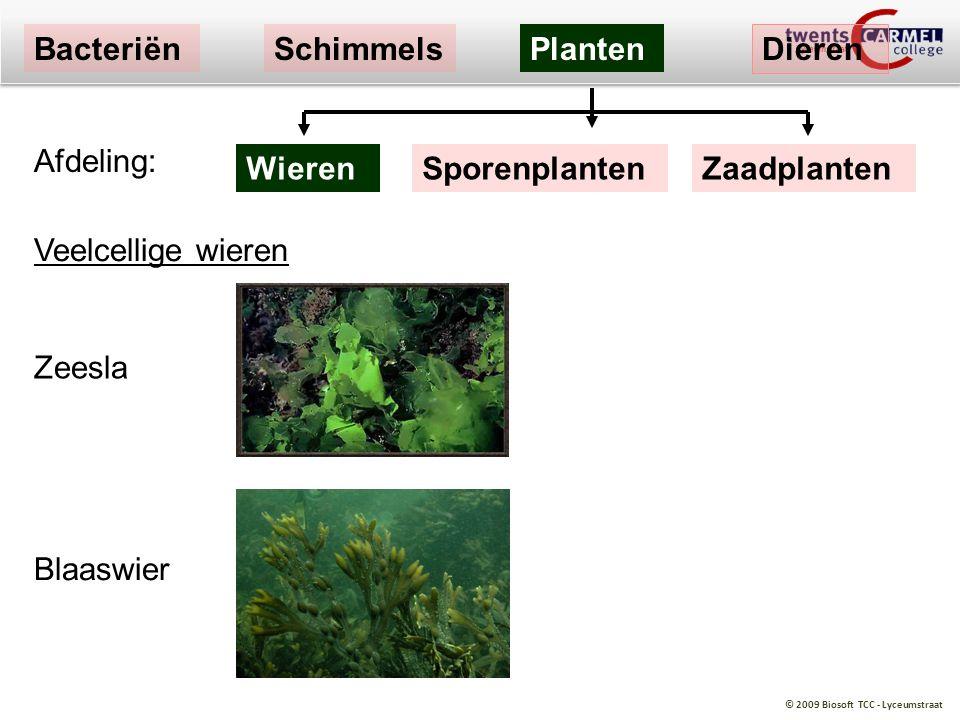 © 2009 Biosoft TCC - Lyceumstraat Zeesla Blaaswier Afdeling: BacteriënSchimmelsPlanten Dieren WierenSporenplantenZaadplanten Veelcellige wieren