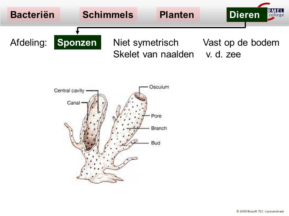 © 2009 Biosoft TCC - Lyceumstraat Niet symetrisch Vast op de bodem Skelet van naalden v. d. zee Sponzen BacteriënSchimmelsPlanten Dieren Afdeling: