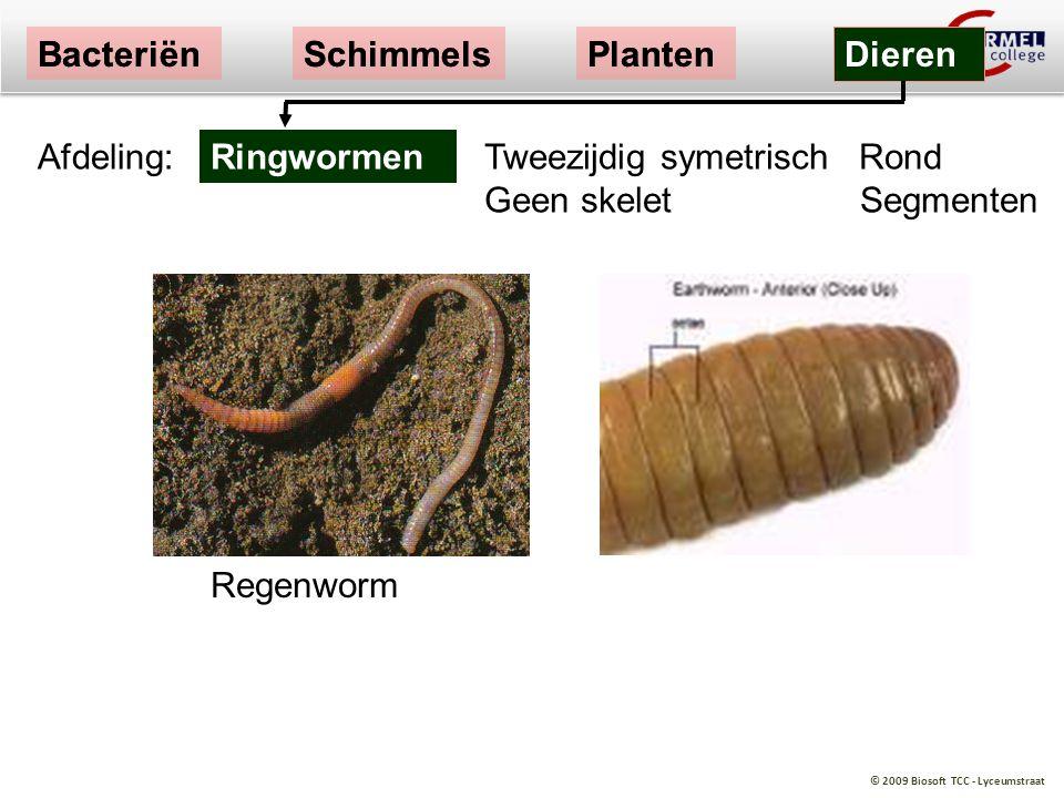 © 2009 Biosoft TCC - Lyceumstraat BacteriënSchimmelsPlanten Dieren Regenworm Tweezijdig symetrisch Rond Geen skelet Segmenten Ringwormen BacteriënSchi