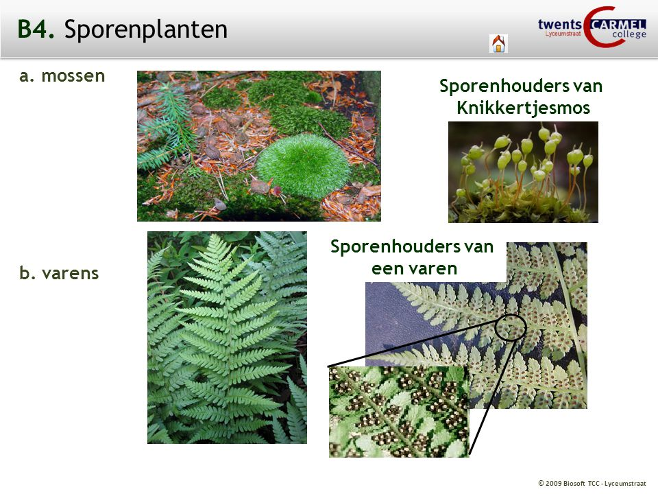 © 2009 Biosoft TCC - Lyceumstraat B4. Sporenplanten a. mossen b. varens Sporenhouders van Knikkertjesmos Sporenhouders van een varen