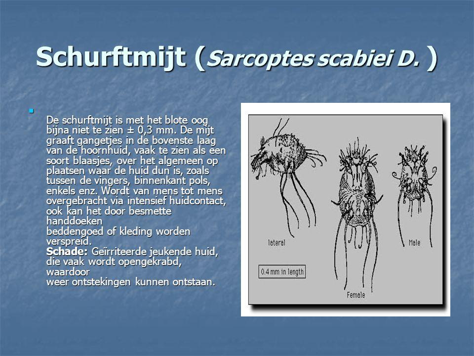 Schurftmijt ( Sarcoptes scabiei D. ) De schurftmijt is met het blote oog bijna niet te zien ± 0,3 mm. De mijt graaft gangetjes in de bovenste laag van