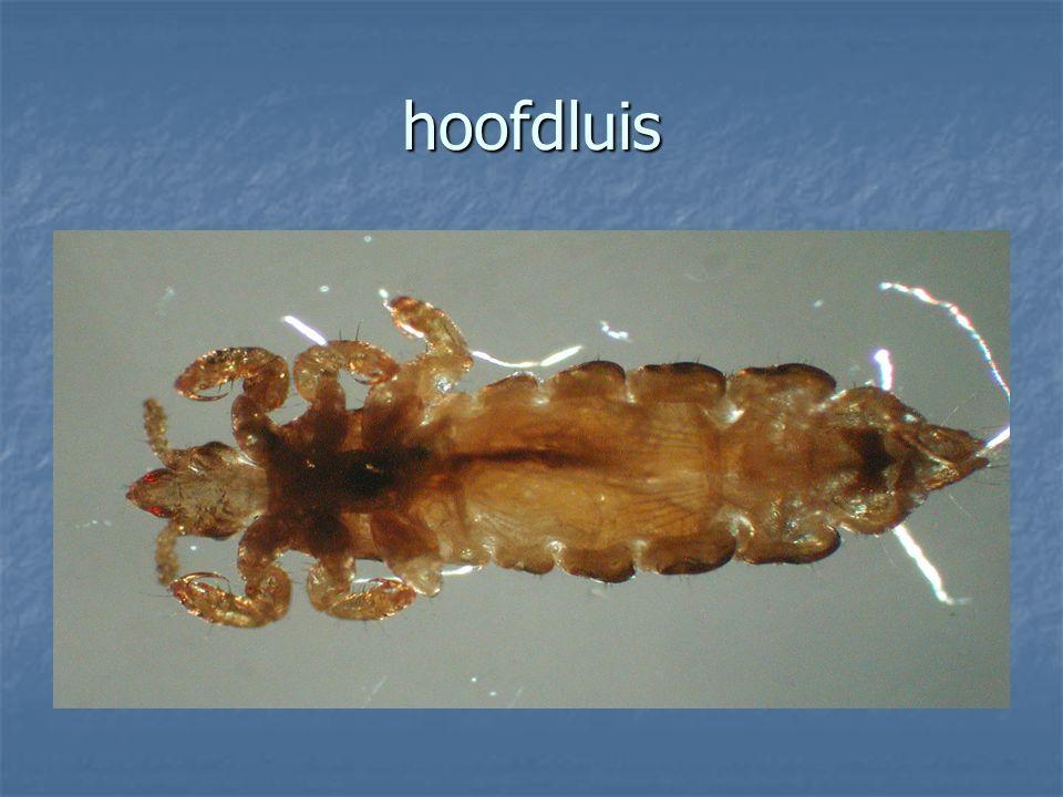 Vlooien Vlooien (orde Siphonaptera oftewel zuigende vleugellozen ) zijn parasitaire insecten die op of zeer nabij hun gastheer (zoogdieren en vogels) leven en zich voeden met diens bloed.