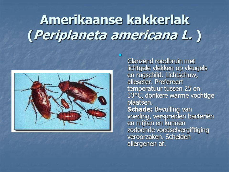 Amerikaanse kakkerlak (Periplaneta americana L. ) Glanzend roodbruin met lichtgele vlekken op vleugels en rugschild. Lichtschuw, alleseter. Prefereert