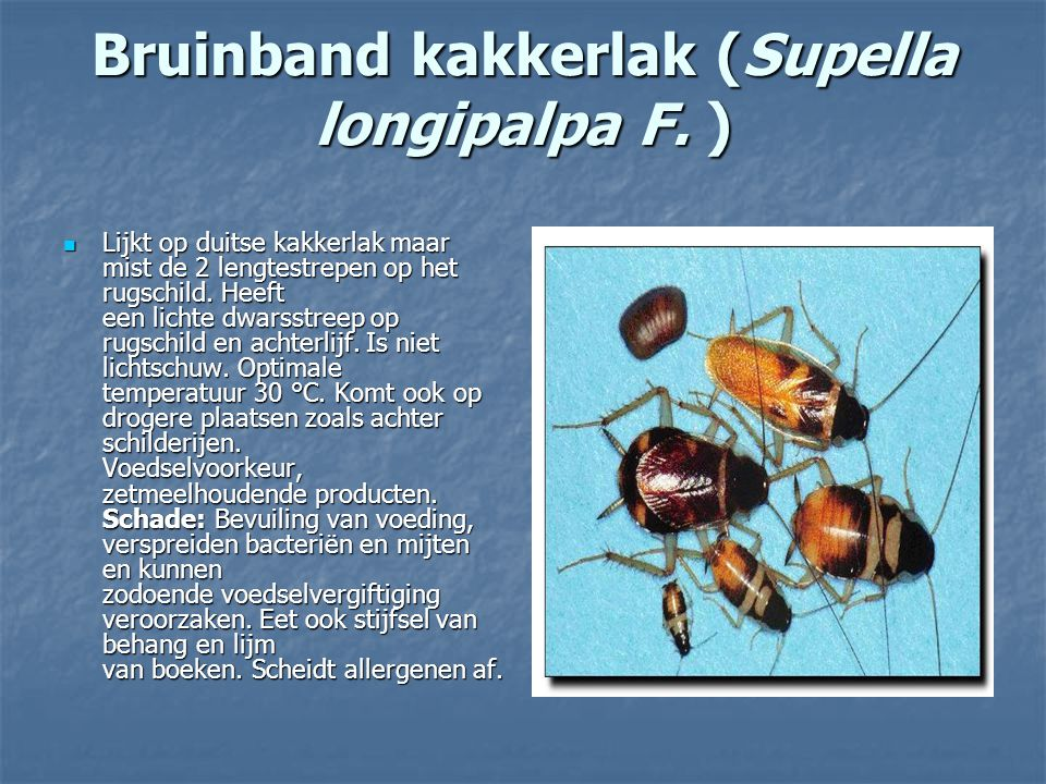 Bruinband kakkerlak (Supella longipalpa F. ) Lijkt op duitse kakkerlak maar mist de 2 lengtestrepen op het rugschild. Heeft een lichte dwarsstreep op