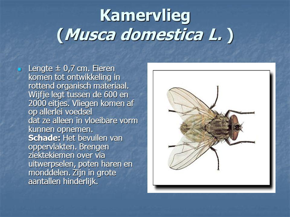 Kamervlieg (Musca domestica L. ) Lengte ± 0,7 cm. Eieren komen tot ontwikkeling in rottend organisch materiaal. Wijfje legt tussen de 600 en 2000 eitj