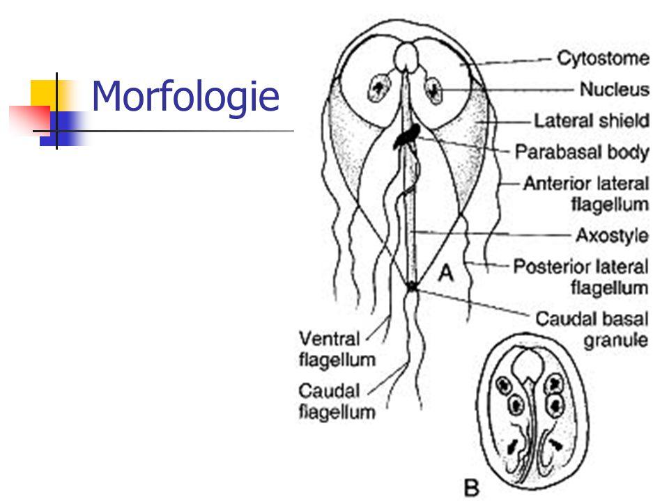Microscopie op faeces (2) Problemen: 1) interfererende substanties: antibiotica, barium, diarreemedicatie, … 2) direct onderzoek binnen 30' 3) vereist ervaring onderzoeker 4) intermittente excretie