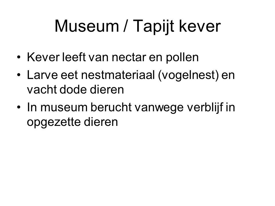 Museum / Tapijt kever Kever leeft van nectar en pollen Larve eet nestmateriaal (vogelnest) en vacht dode dieren In museum berucht vanwege verblijf in