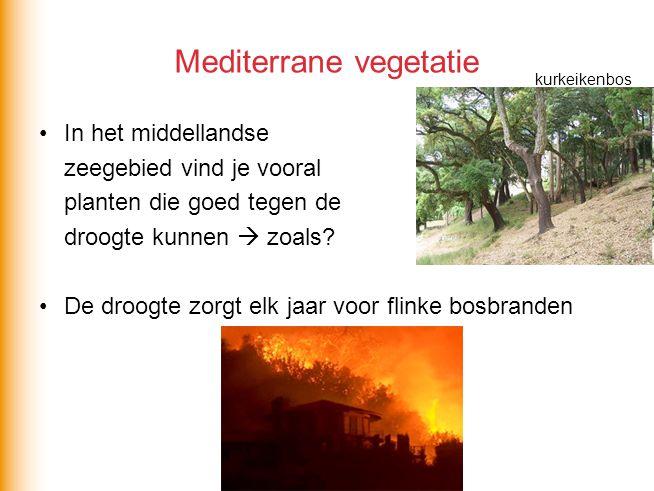 Mediterrane vegetatie kurkeikenbos In het middellandse zeegebied vind je vooral planten die goed tegen de droogte kunnen  zoals? De droogte zorgt elk