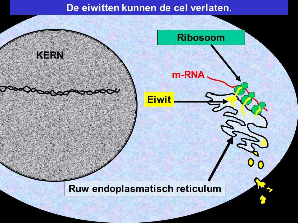 De eiwitten kunnen de cel verlaten. Ruw endoplasmatisch reticulum Ribosoom m-RNA Eiwit KERN