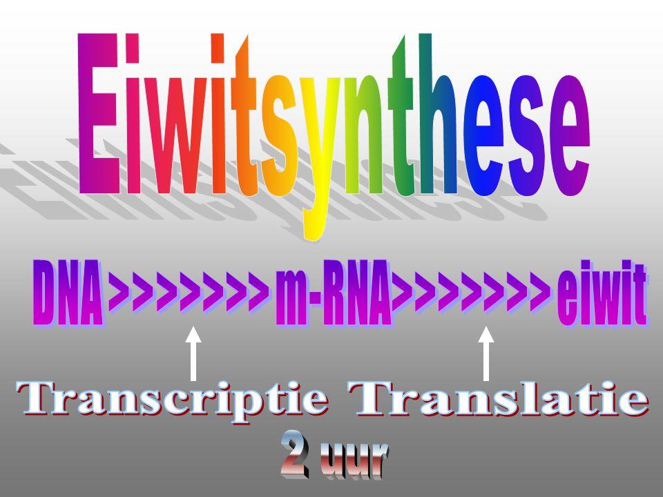 DNA Benodigdheden ATGGTATGAATATATACGAAAACACCCTTAA  Knipenzym X m-RNA-polymerase TACCATACTTATATATGCTTTTGTGGGAATT  Knipenzym Y