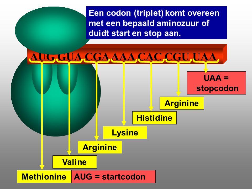 AUG GUA CGA AAA CAC CGU UAA AUG = startcodon UAA = stopcodon Valine Arginine Lysine Histidine Arginine Methionine Een codon (triplet) komt overeen met een bepaald aminozuur of duidt start en stop aan.