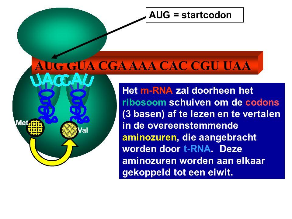 AUG GUA CGA AAA CAC CGU UAA AUG = startcodon Het m-RNA zal doorheen het ribosoom schuiven om de codons (3 basen) af te lezen en te vertalen in de overeenstemmende aminozuren, die aangebracht worden door t-RNA.