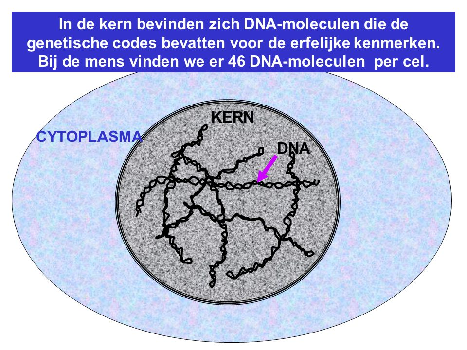 In de kern bevinden zich DNA-moleculen die de genetische codes bevatten voor de erfelijke kenmerken.