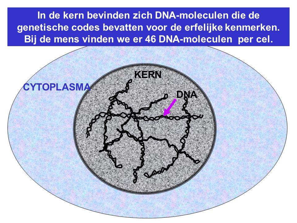 KERN DNA CYTOPLASMA In de kern bevinden zich DNA-moleculen die de genetische codes bevatten voor de erfelijke kenmerken.