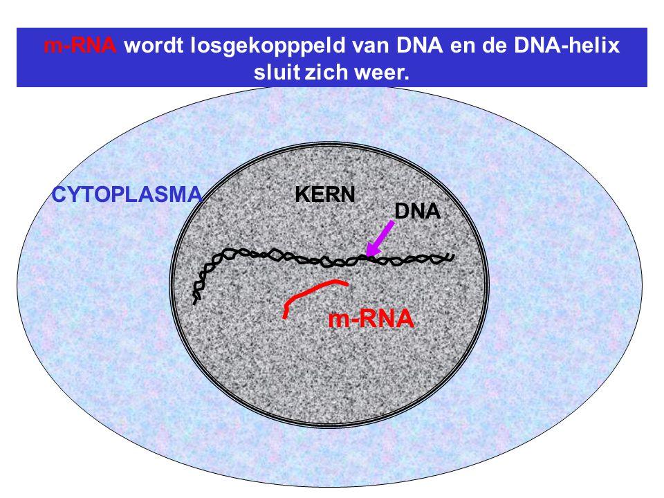 DNA CYTOPLASMAKERN m-RNA wordt losgekopppeld van DNA en de DNA-helix sluit zich weer. m-RNA