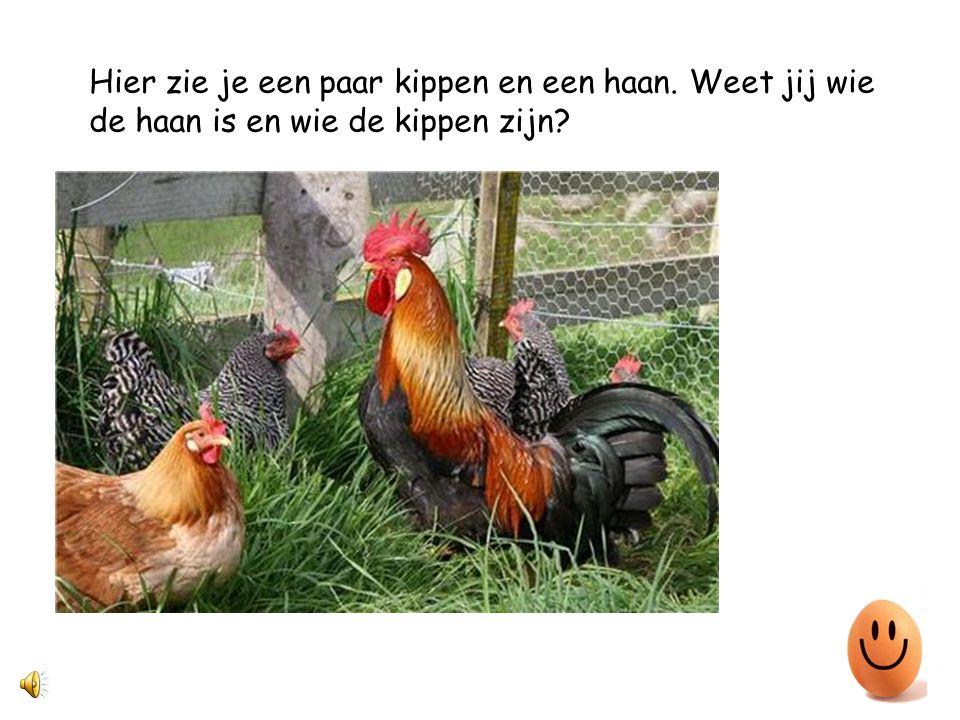 Hier zie je een paar kippen en een haan. Weet jij wie de haan is en wie de kippen zijn?