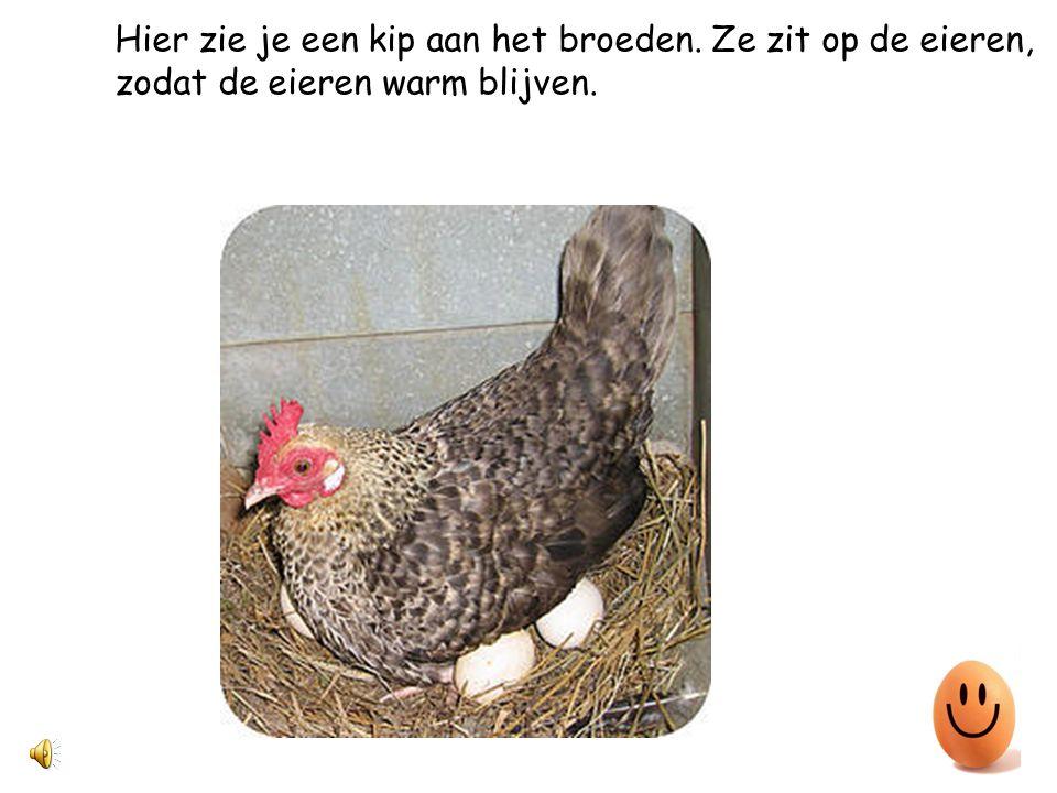 Hier zie je een kip aan het broeden. Ze zit op de eieren, zodat de eieren warm blijven.