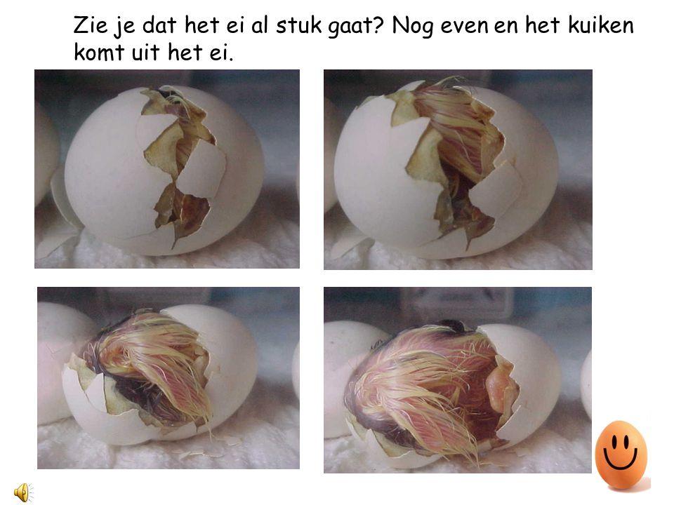 Zie je dat het ei al stuk gaat? Nog even en het kuiken komt uit het ei.