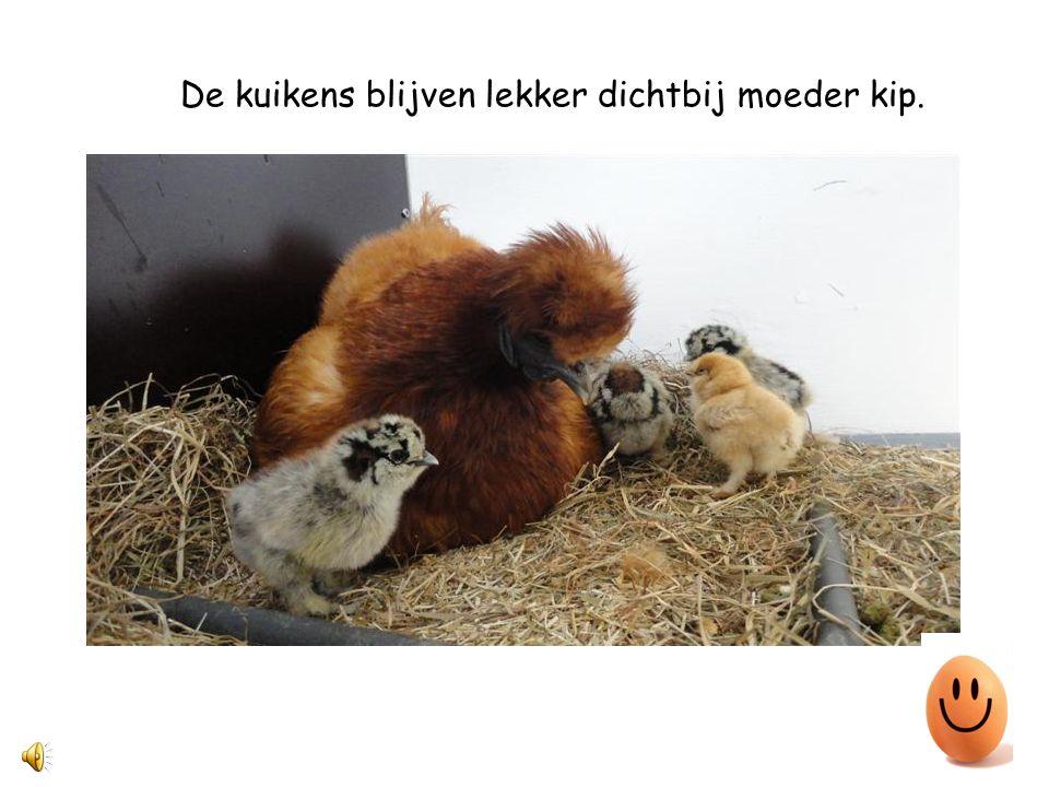 Hier zie je moeder kip met haar kuikens. Hoeveel kuikens heeft deze kip?