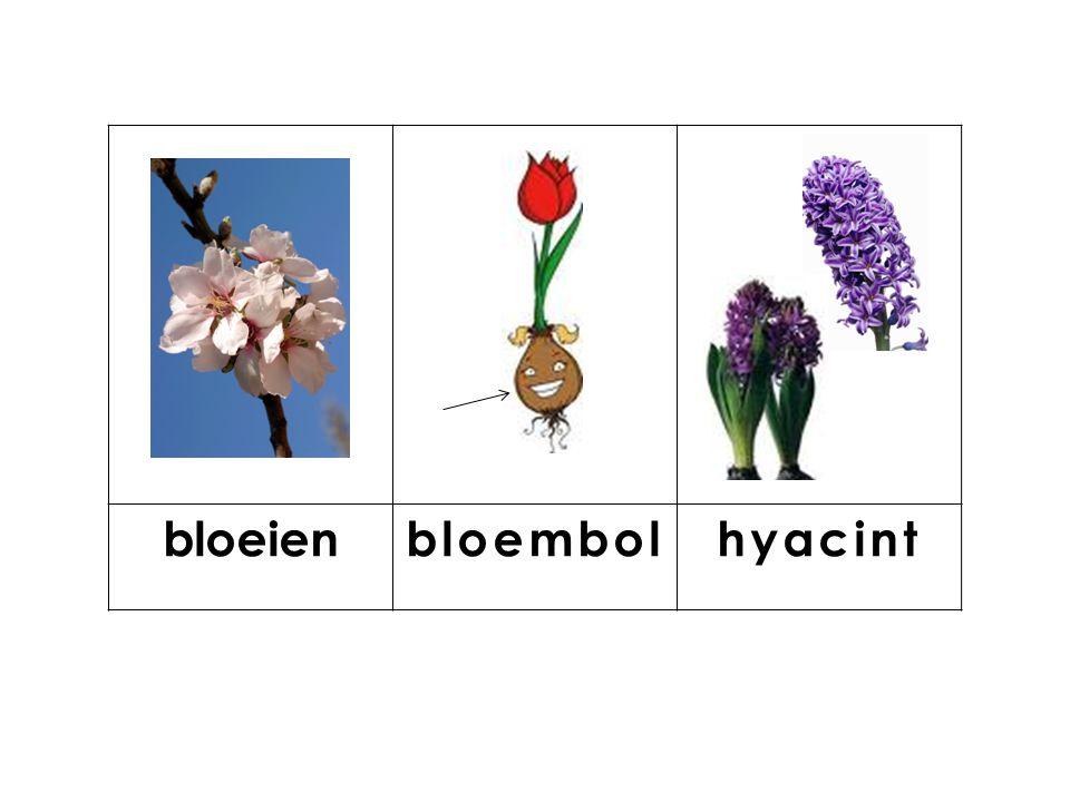 knop bloeienbloembolhyacint