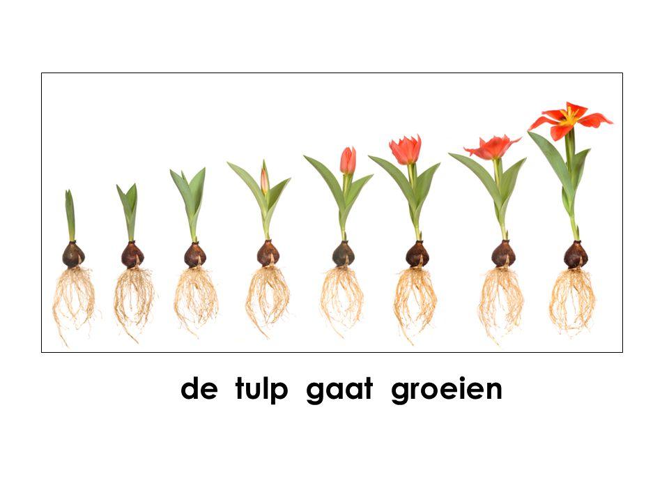 de tulp gaat groeien