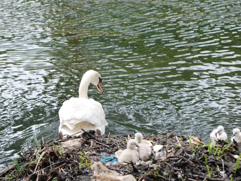 De zwaan gaat van het nest, er zwemmen al vier jongen in het water de laatste twee (die vandaag uit het ei zijn gekomen), blijven veilig op het nest