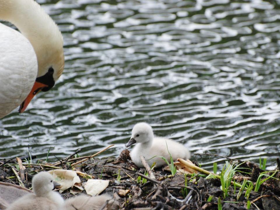 Ma zwaan komt het nest weer op de kleintjes komen ook mee
