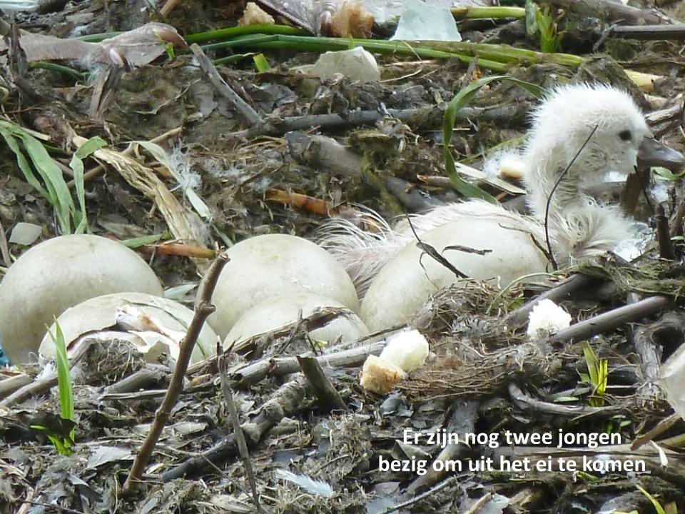 en de eerste jonge zwaan steekt zijn of haar koppie op