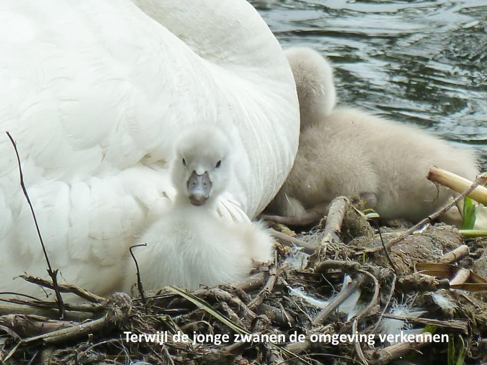 Terwijl de jonge zwanen de omgeving verkennen