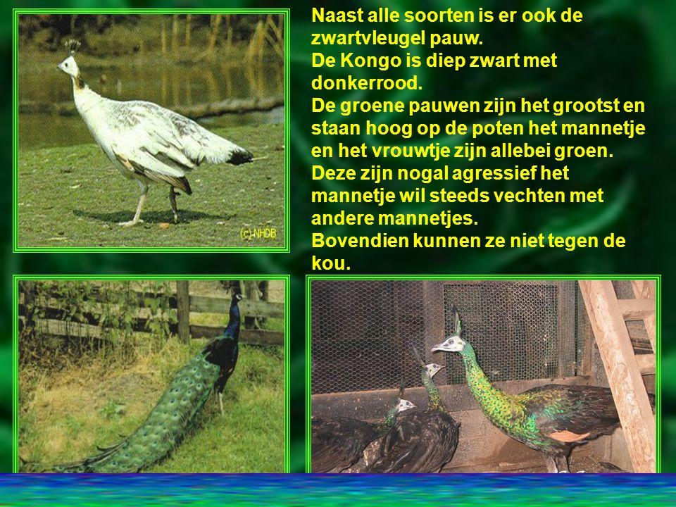 Blauwe Pauwen kunnen vrij tam worden en hebben geen last van de kou.