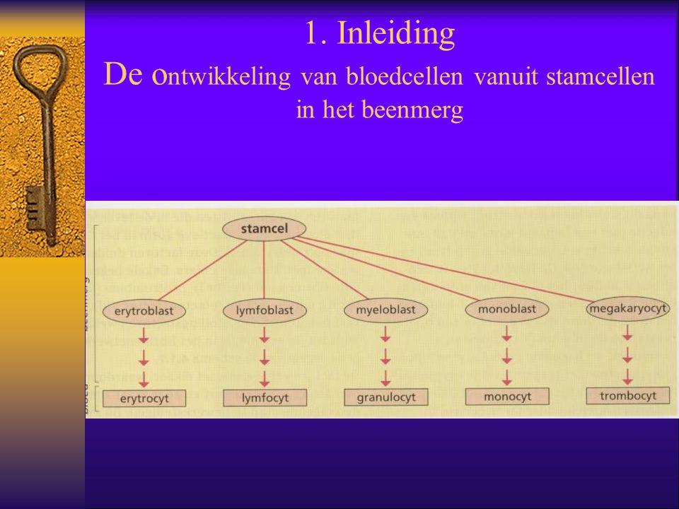 1. Inleiding De o ntwikkeling van bloedcellen vanuit stamcellen in het beenmerg