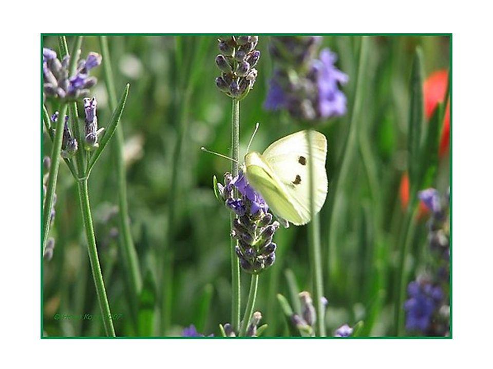 Lavendel heeft: Krachten: Liefde, bescherming, slaap, kuisheid, lang leven, reiniging, geluk, vrede.