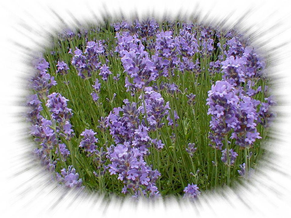 Magie: v Van oudsher gebruikt in liefdesmagie. v Kleren met een lavendel luchtje trekken liefde aan. v De geur van lavendel trekt voornamelijk mannen