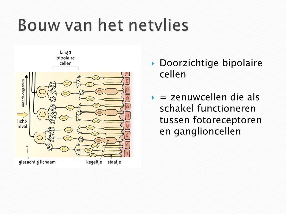  Doorzichtige bipolaire cellen  = zenuwcellen die als schakel functioneren tussen fotoreceptoren en ganglioncellen