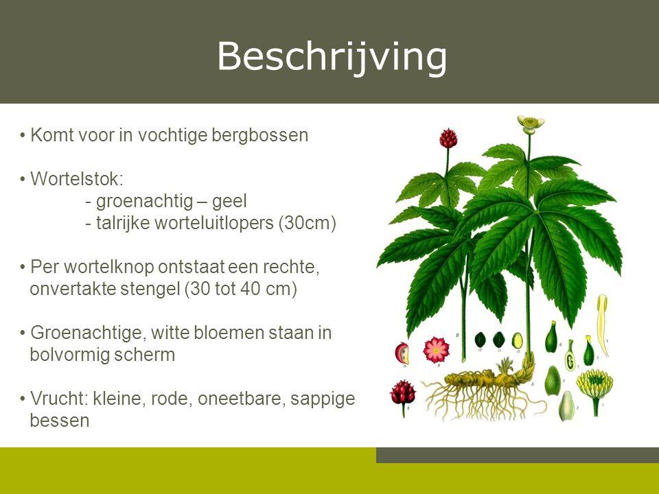 Beschrijving Komt voor in vochtige bergbossen Wortelstok: - groenachtig – geel - talrijke worteluitlopers (30cm) Per wortelknop ontstaat een rechte, o
