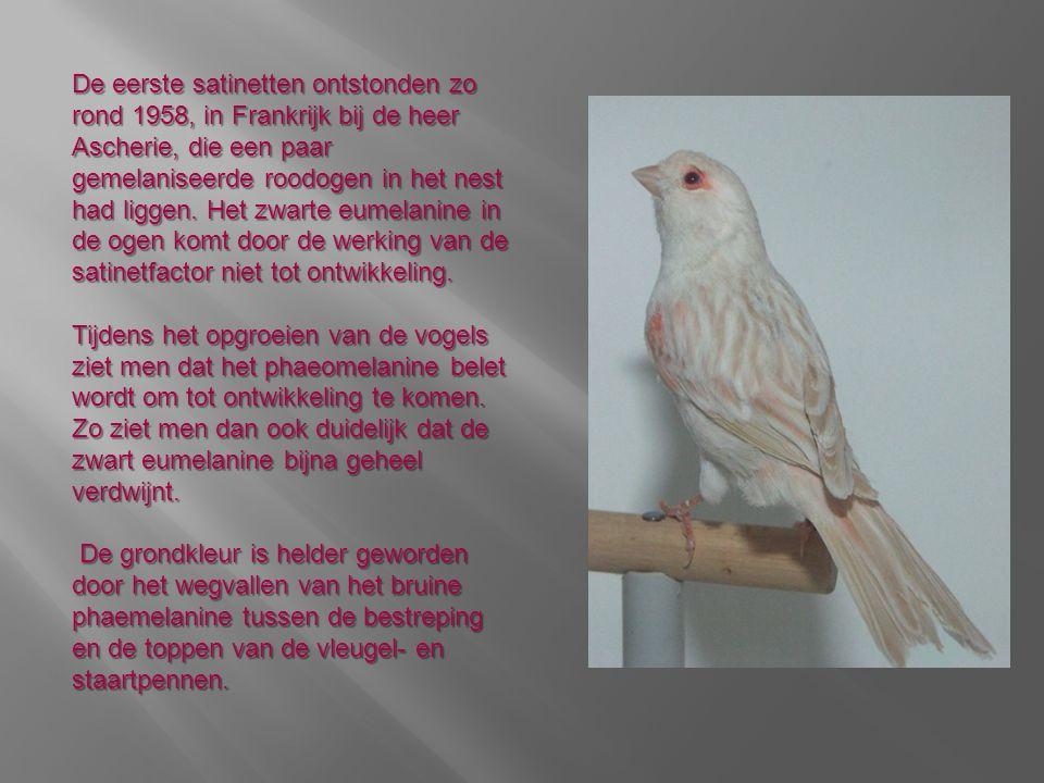Goede satinetten zijn alleen maar te kweken door gebruik te maken van duidelijke gestreepte bruine of isabelvogels.