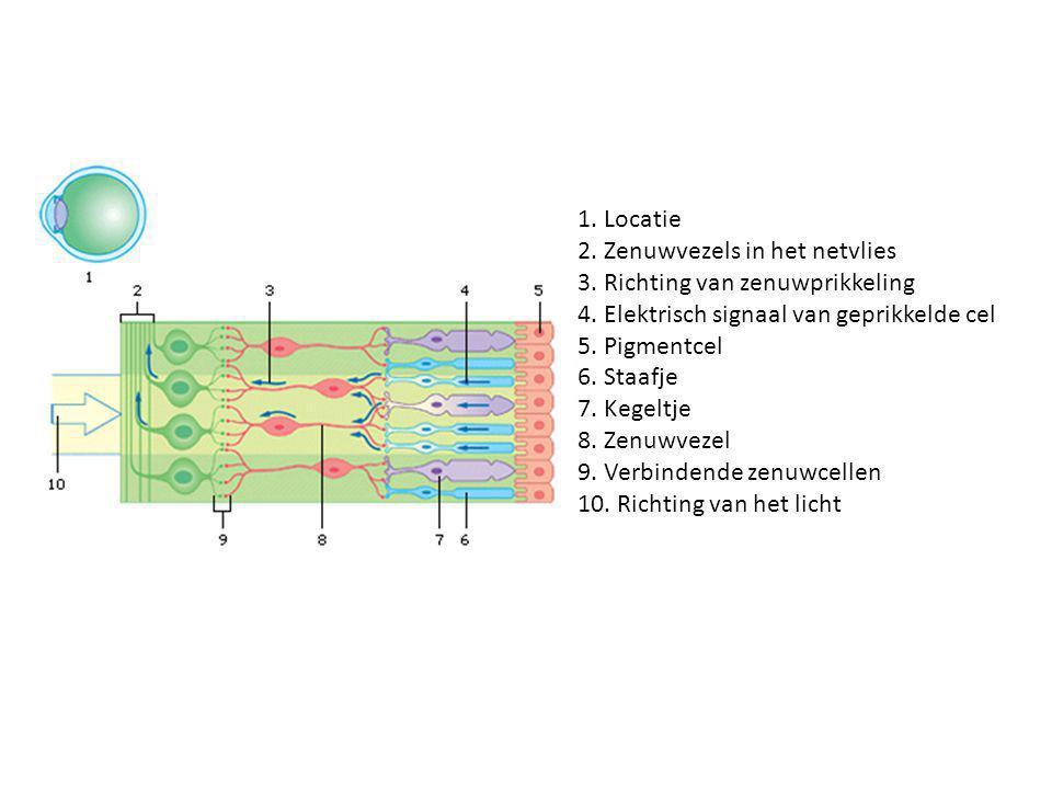 1. Locatie 2. Zenuwvezels in het netvlies 3. Richting van zenuwprikkeling 4. Elektrisch signaal van geprikkelde cel 5. Pigmentcel 6. Staafje 7. Kegelt