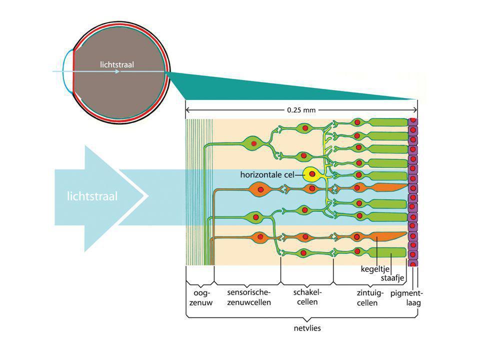 Het Netvlies Lichtreceptoren in contact met schakelcellen Schakelcellen geven info door aan de sensorische zenuwcellen Deze cellen geven de informatie door aan de hersenen Meerdere staafjes verbonden met schakelcel: prikkeling 1 staafje is onvoldoende Valt er weinig licht op meerdere staafjes: prikkelwaarden worden opgeteld van staafjes die aan 1 schakelcel verbonden zitten.