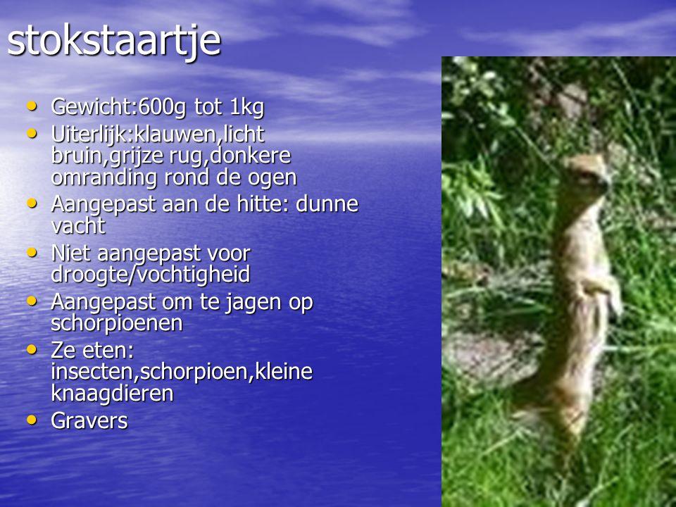 Waar wonen ze: stokstaartjes komen voor in droge gebieden van het Zuiden van Afrika (Angola,Namibië,Bots wana) Waar wonen ze: stokstaartjes komen voor in droge gebieden van het Zuiden van Afrika (Angola,Namibië,Bots wana)