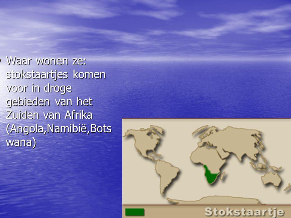 Waar wonen ze: stokstaartjes komen voor in droge gebieden van het Zuiden van Afrika (Angola,Namibië,Bots wana) Waar wonen ze: stokstaartjes komen voor