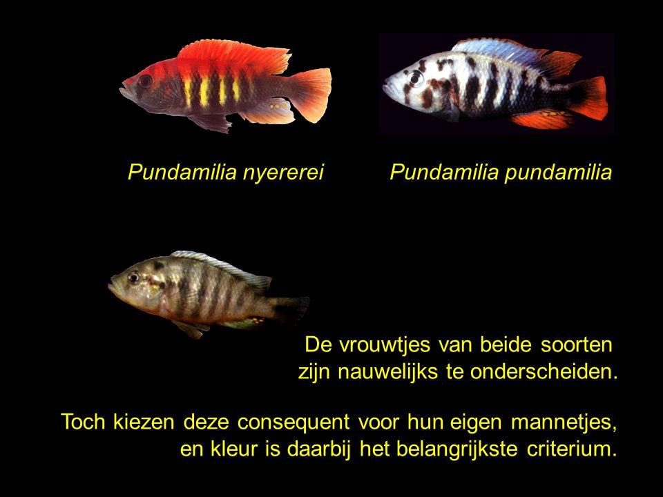 Pundamilia nyerereiPundamilia pundamilia De vrouwtjes van beide soorten zijn nauwelijks te onderscheiden. Toch kiezen deze consequent voor hun eigen m